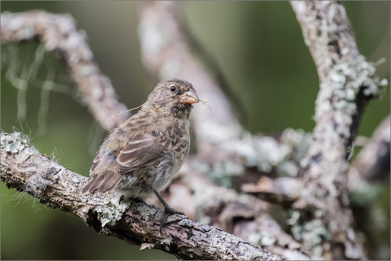 GP112 Floreana - Galapagosfink / Galapagos Finch