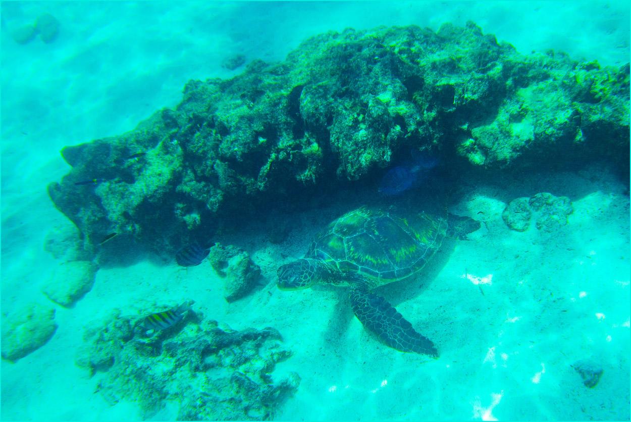 GP137 Santa Fe - Meeresschildkroete / Sea Turtle