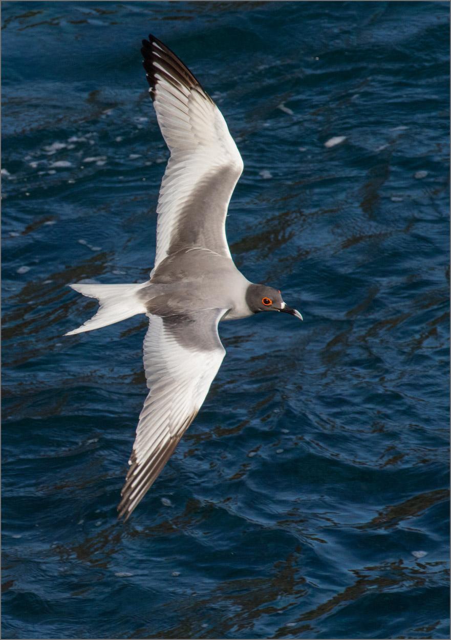 GP143 Santa Fe - Gabelschwanzmoewe / Swallow-tailed Gull
