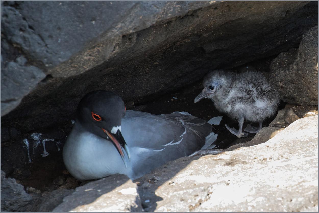 GP148 Santa Fe - Gabelschwanzmoewe / Swallow-tailed Gull