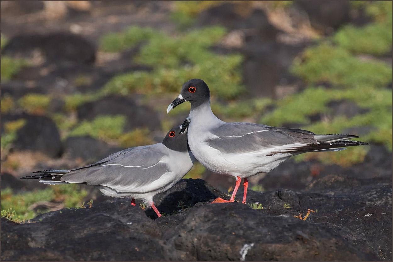 GP151 Santa Fe - Gabelschwanzmoewen / Swallow-tailed Gulls