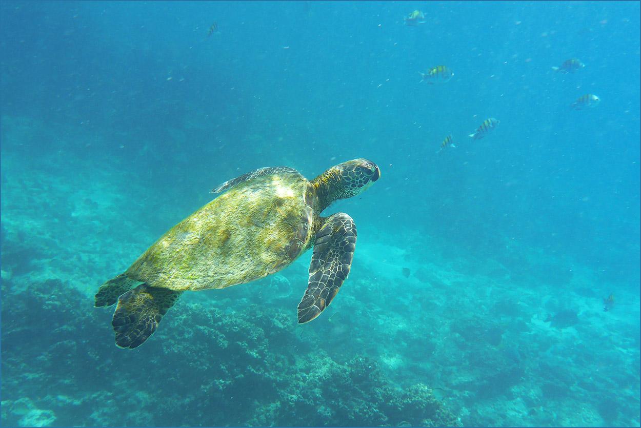 GP174 Espanola - Meeresschildkroete / Sea Turtle
