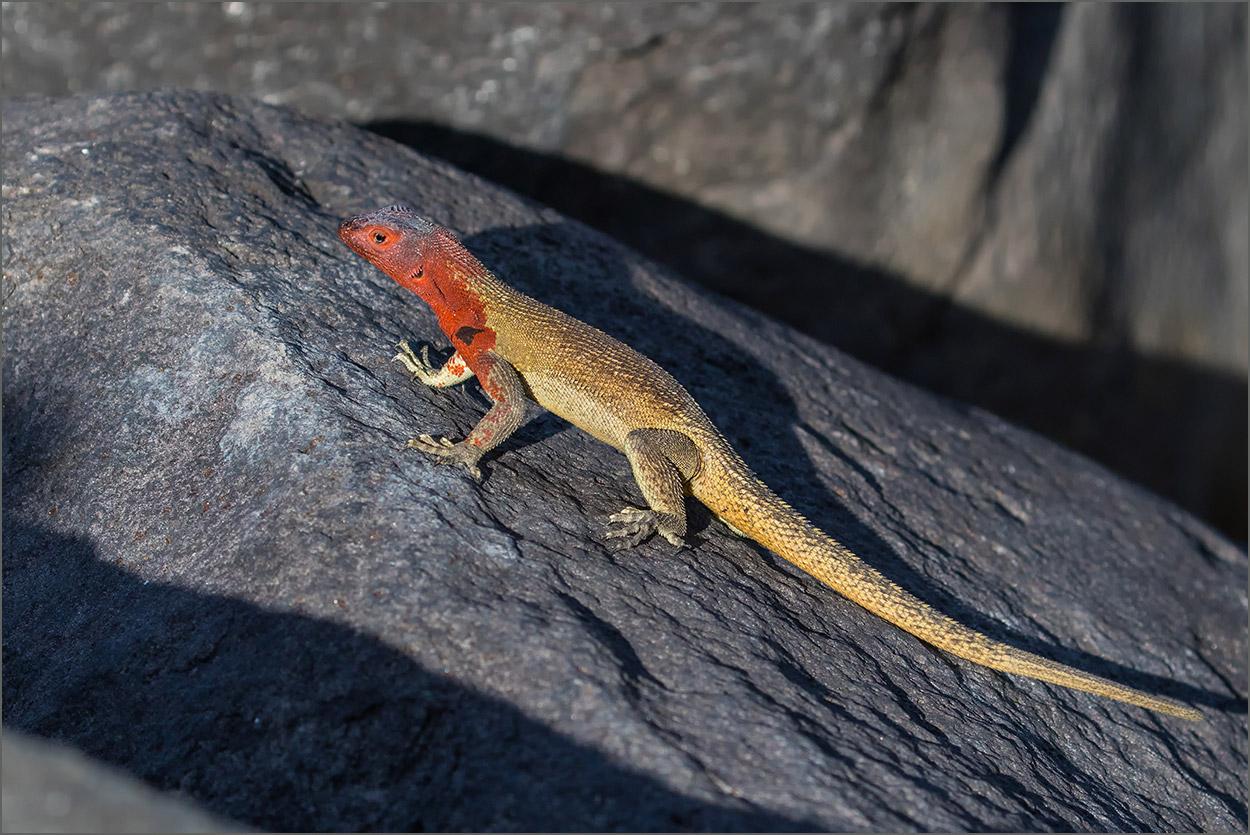 GP178 Espanola - Lavaechse / Lava Lizard