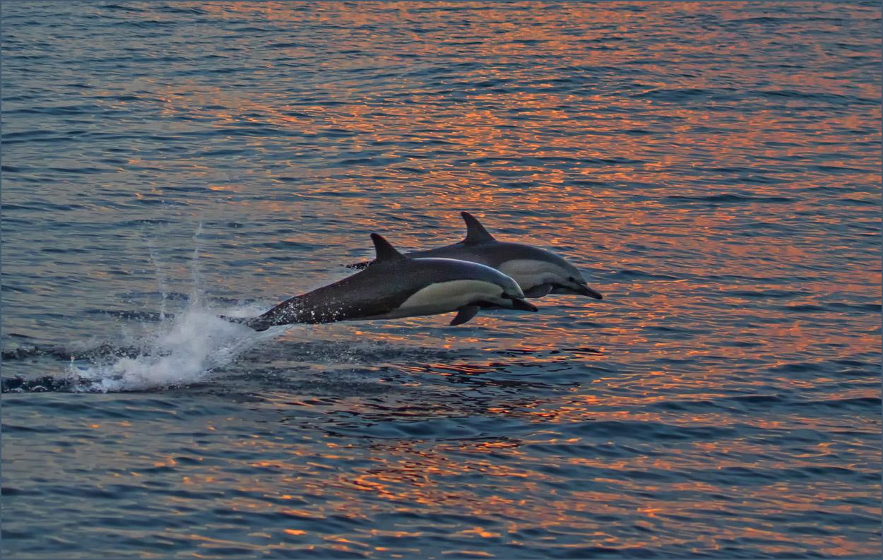 GP046 Delfine / Dolphins