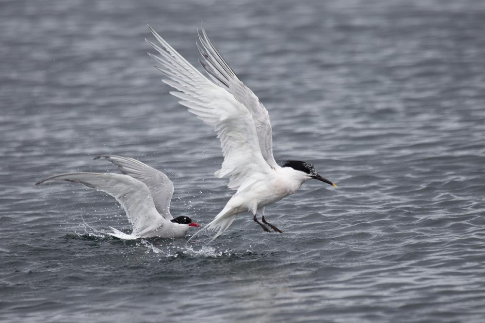 GB053 Küstenseeschwalbe, Brandseeschwalbe / arctic tern, sandwich tern