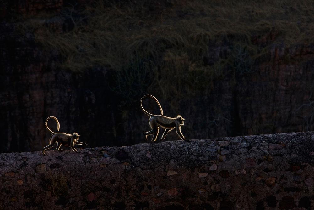 IN022 Hanuman-Languren / hanuman langurs
