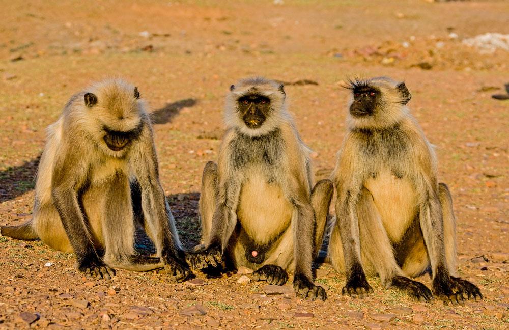 IN023 Hanuman-Languren / hanuman-langurs