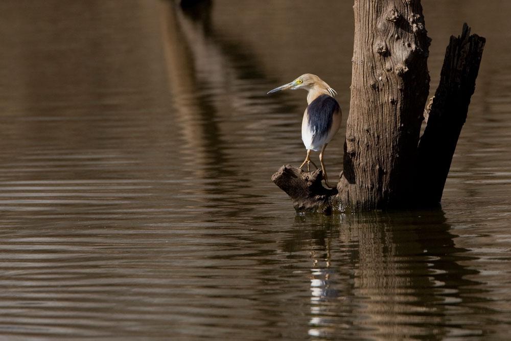 IN057 Rallenreiher / squacco heron