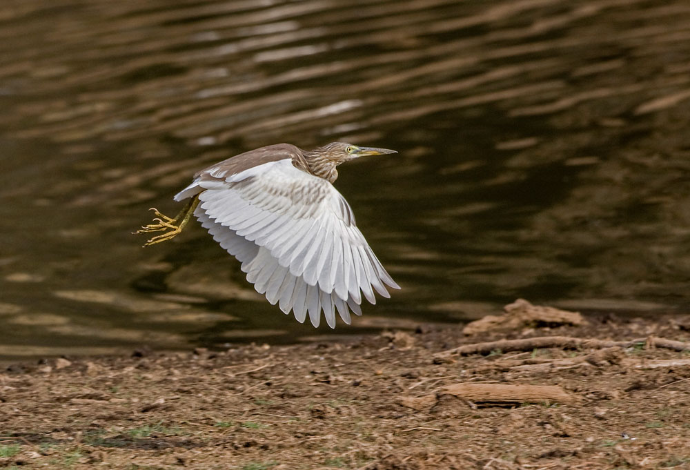 IN058 Rallenreiher / squacco heron