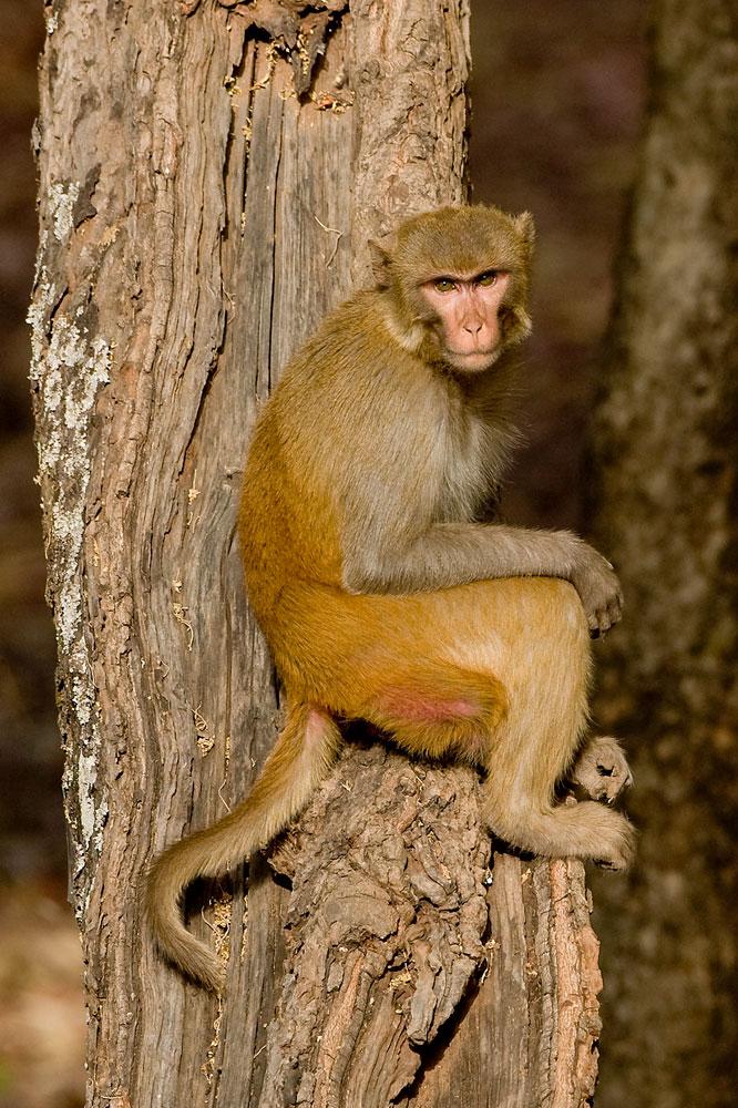 IN062 Rhesusaffe / rhesus monkey