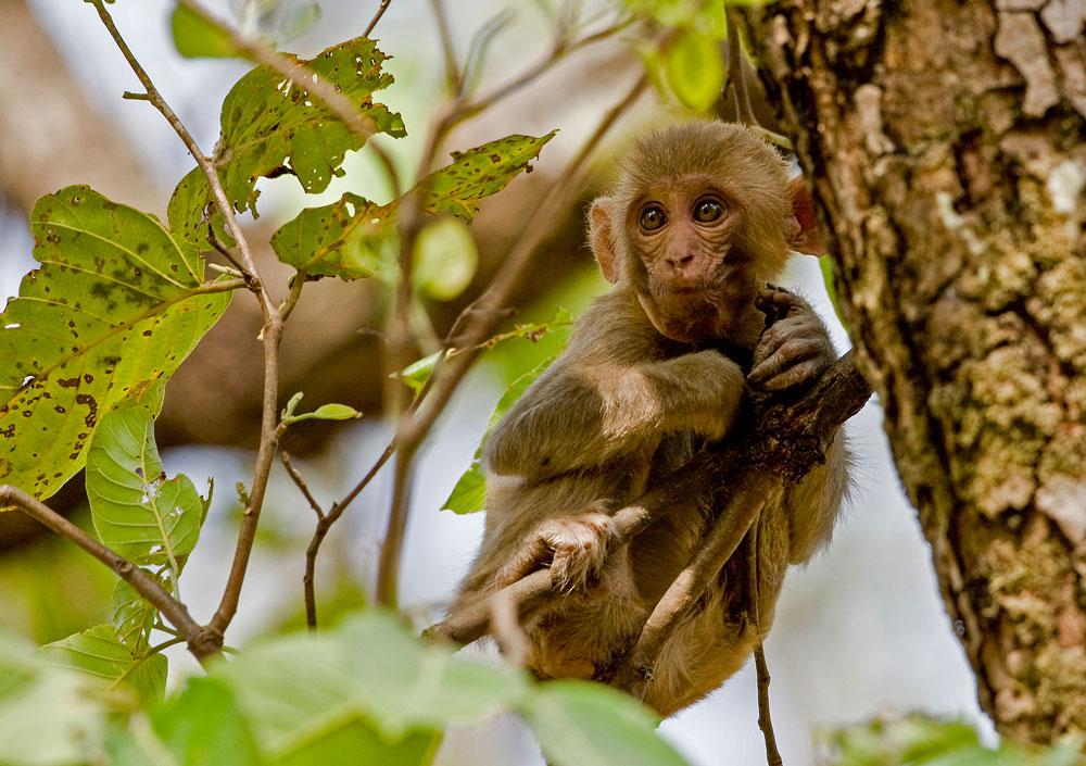 IN064 Rhesusaffe / rhesus monkey