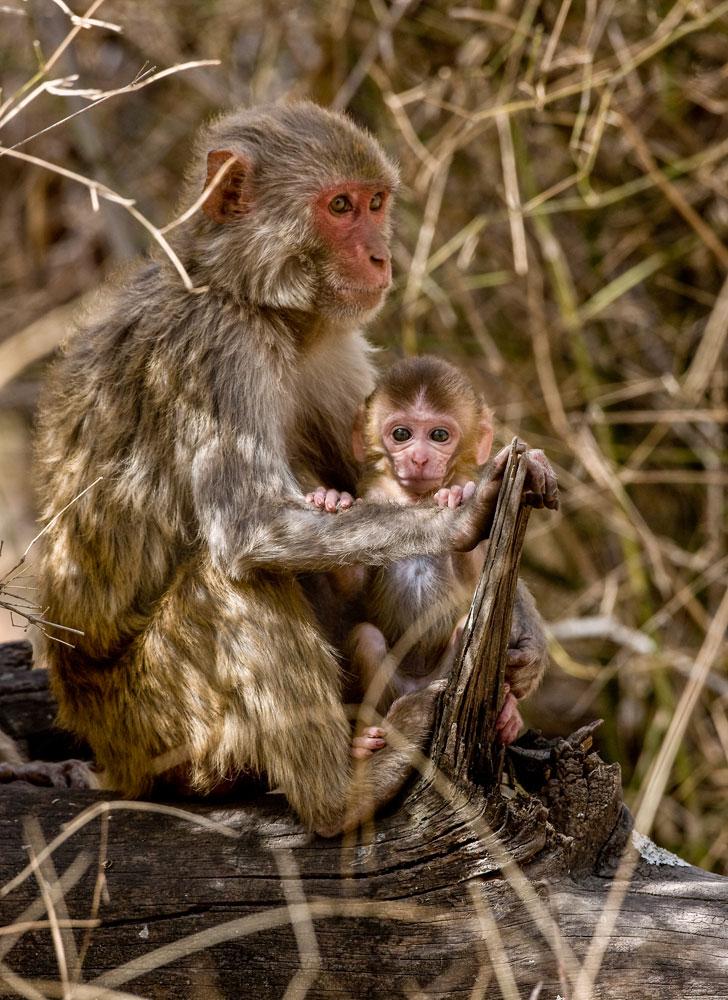 IN065 Rhesusaffe / rhesus monkey