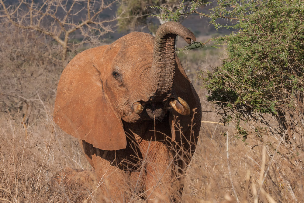 K106 Tsavo Ost, roter Elefant / Tsavo East, red elephant
