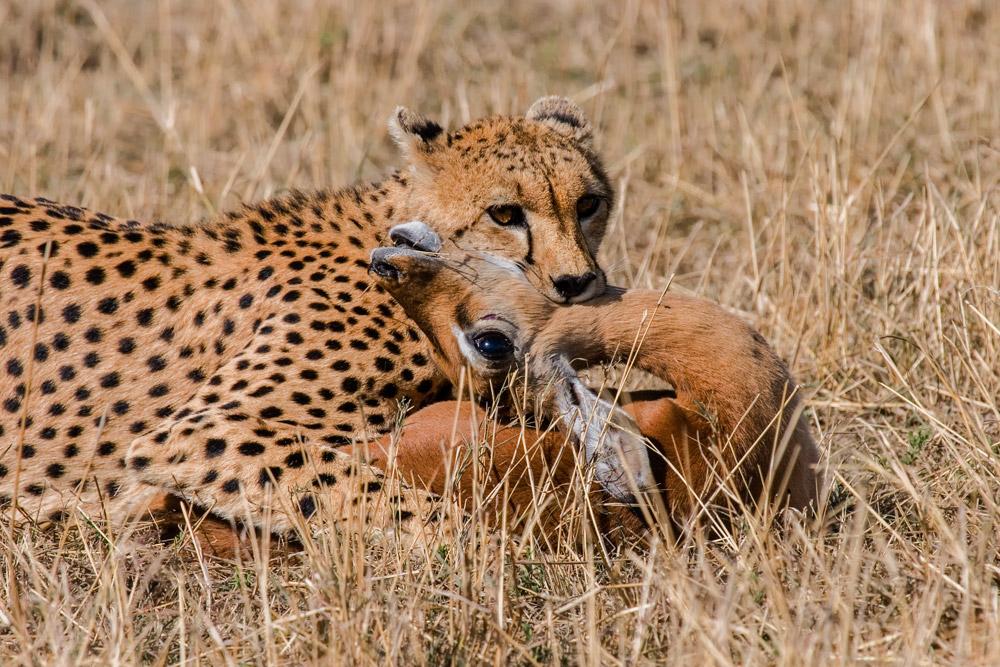 K111 Gepard mit Beute / cheetah with kill