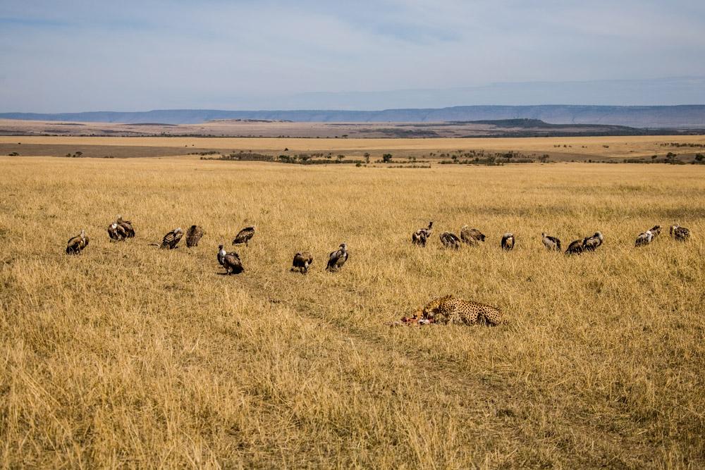 K112 Gepard und Geier / cheetah and vultures