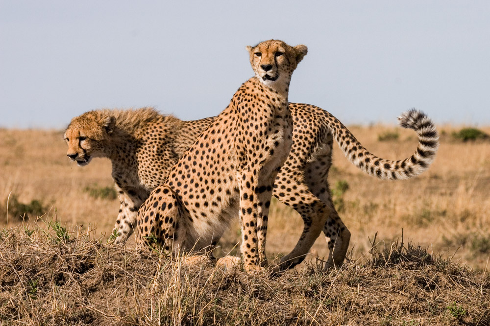 K113 Geparden / cheetahs
