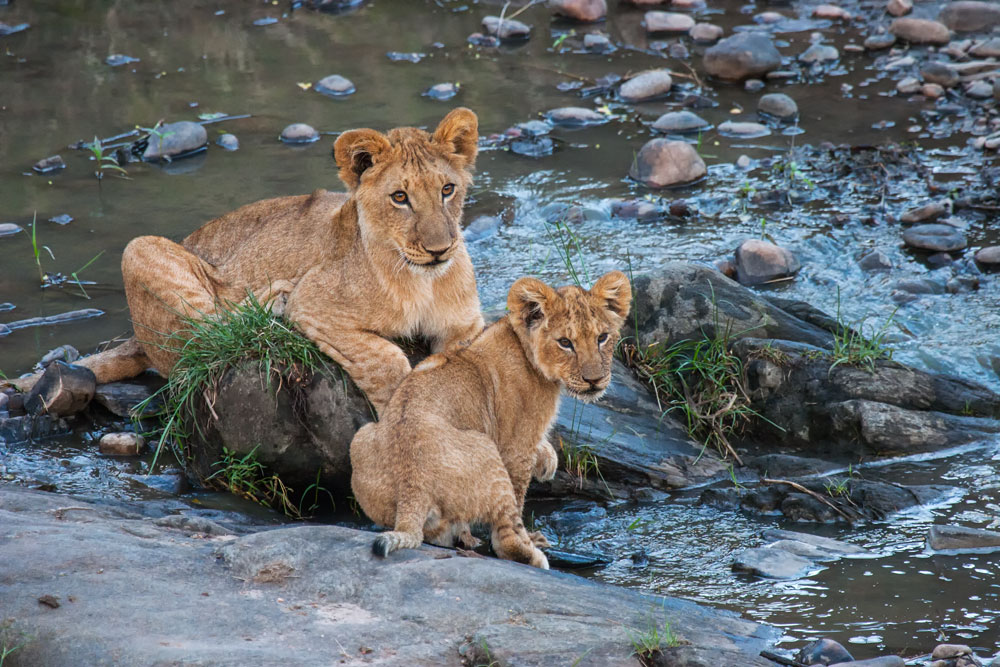 K116 Junge Löwen / young lions