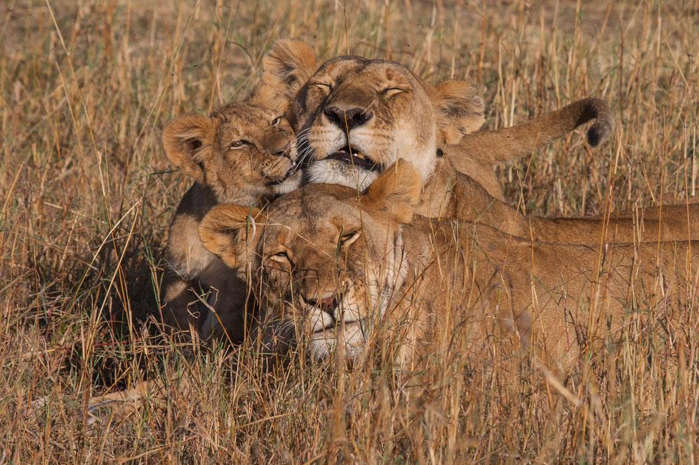 K125 Löwen / lions