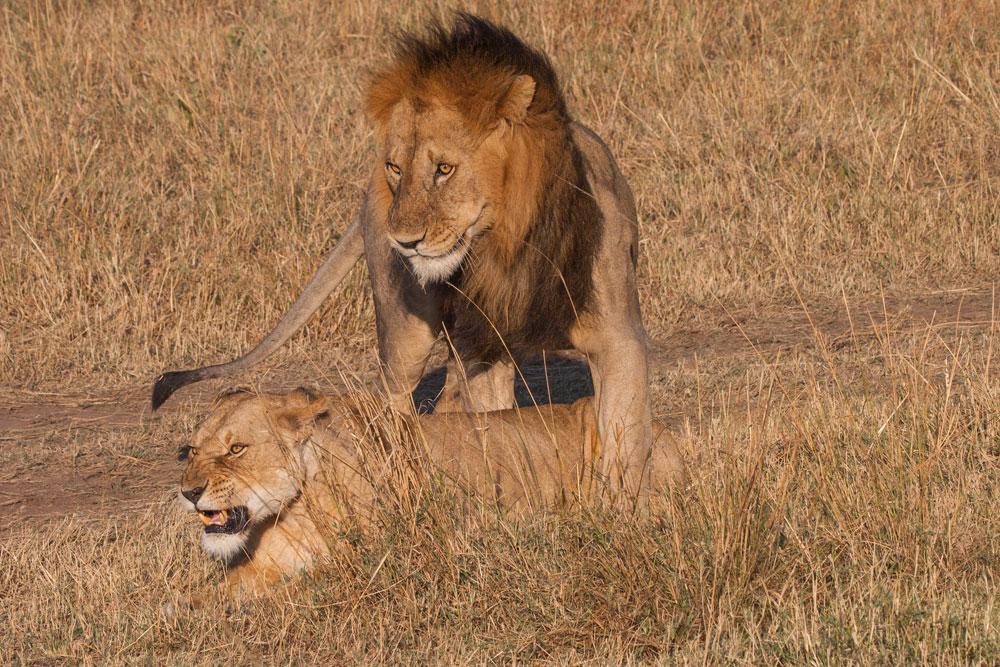 K126 Löwenpaarung / lions mating