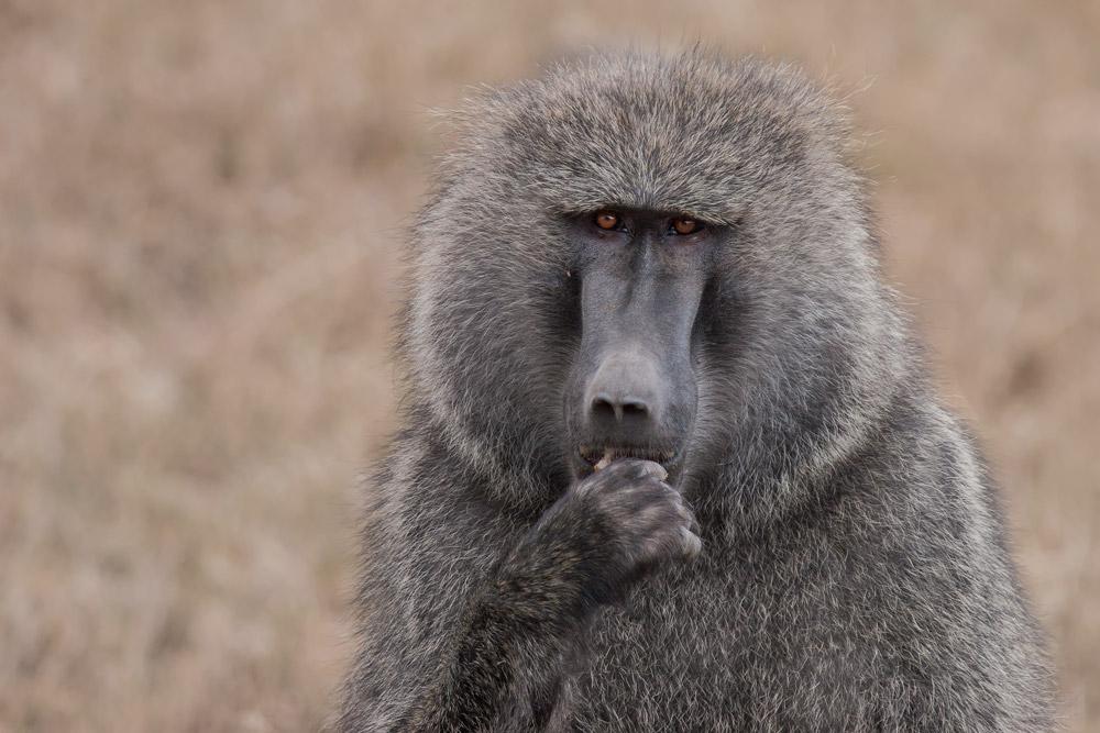 K141 Pavian / baboon