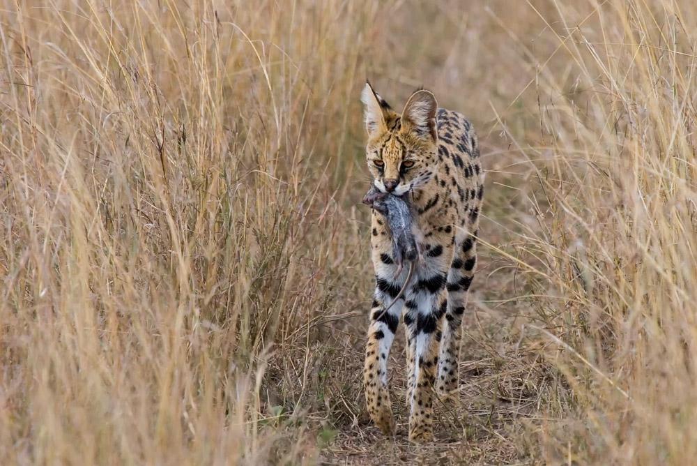 K144 Serval / serval cat