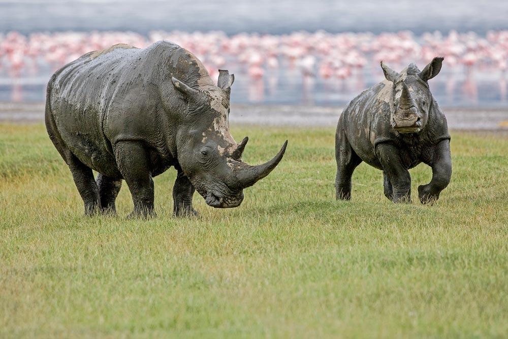 K201 Lake Nakuru, Breitmaulnashorn / white rhinoceros