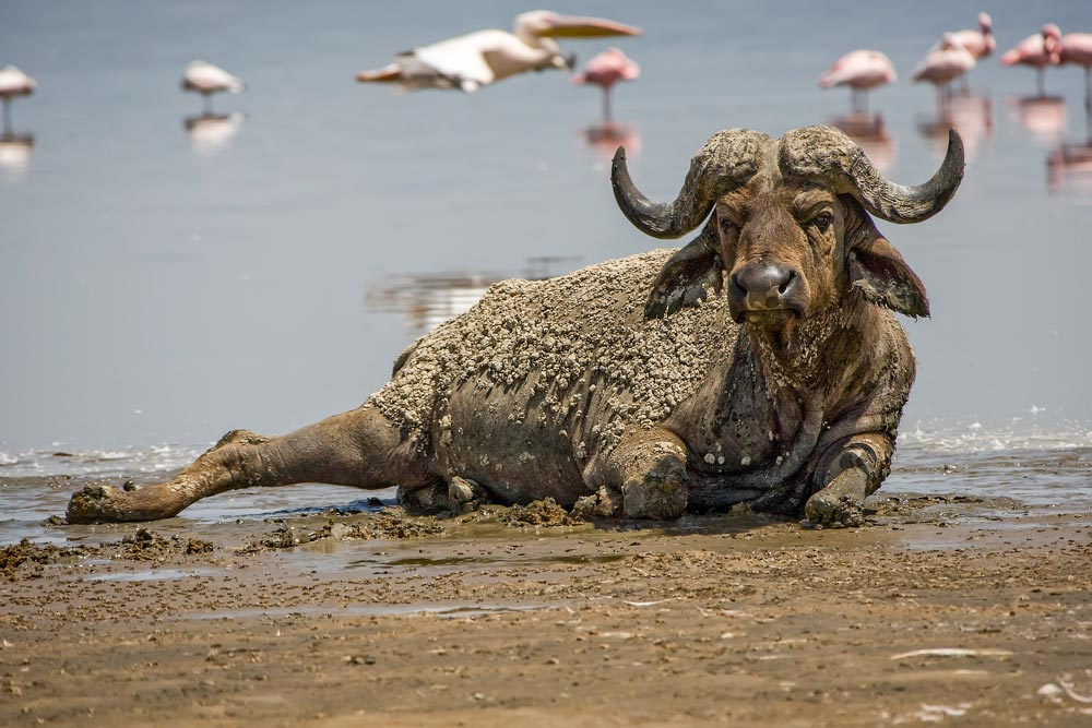 K204 Lake Nakuru, Büffel / buffalo