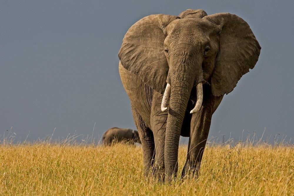 K206 Masai Mara, Elefant / elephant
