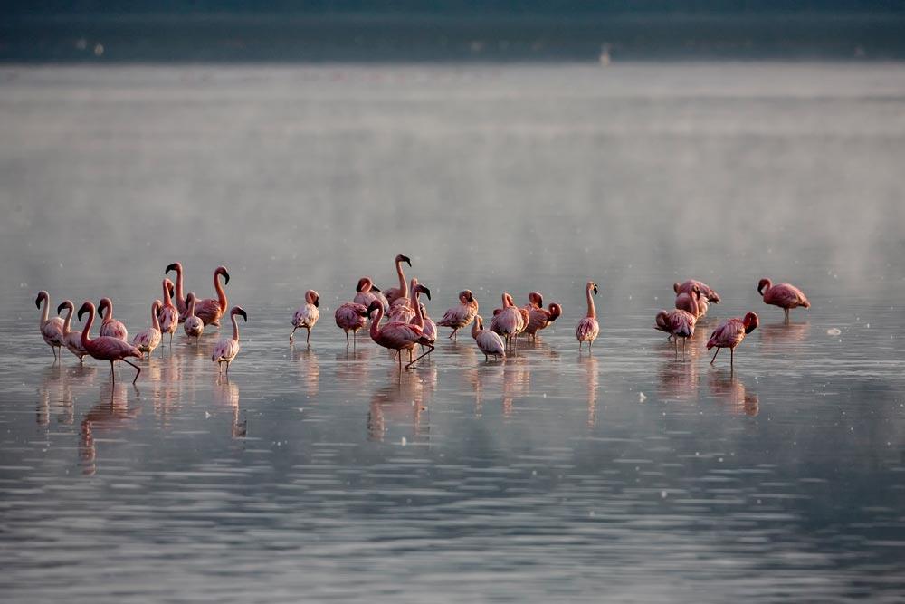 K208 Lake Nakuru, Flamingos / flamingos