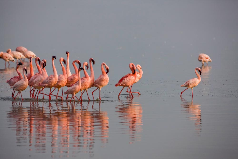 K209 Lake Nakuru, Flamingos / flamingos