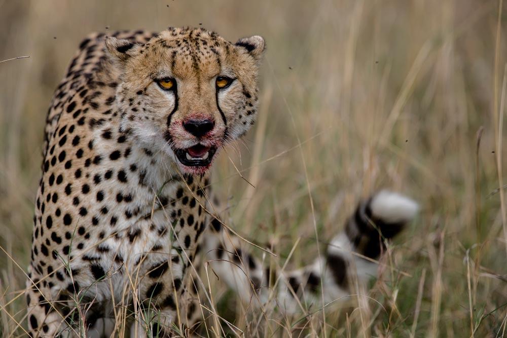K217 Masai Mara, Gepard / cheetah