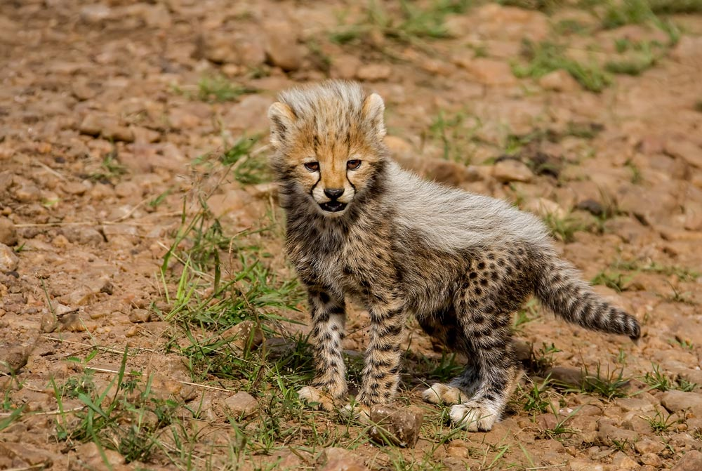K219 Masai Mara, Gepardenbaby / cheetah cub