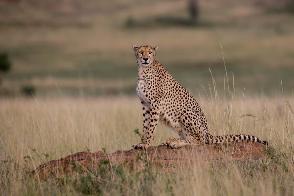 K220 Masai Mara, Gepard / cheetah