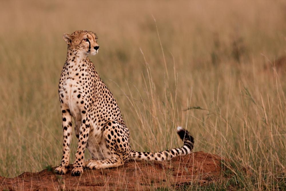 K222 Masai Mara, Gepard / cheetah