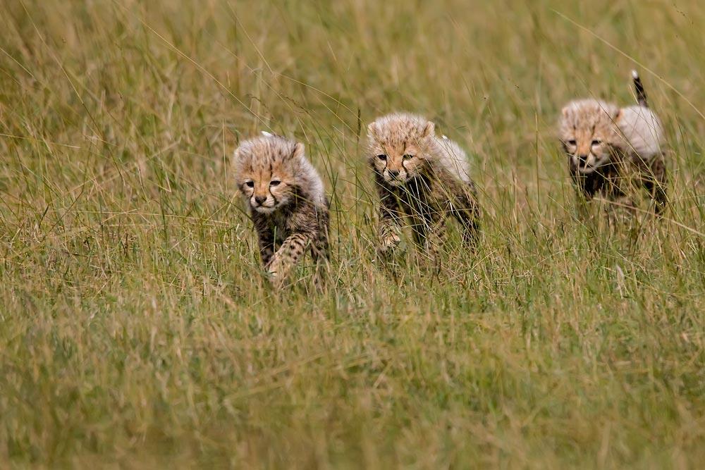 K223 Masai Mara, Gepardenbabies / cheetah cubs