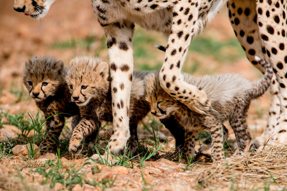 K224 Masai Mara, Gepardenbabies / cheetah cubs