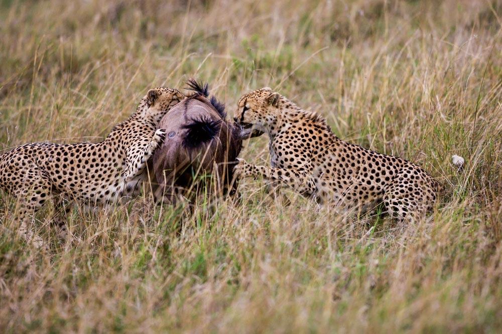K226 Masai Mara, Geparden mit Beute / cheetahs with kill