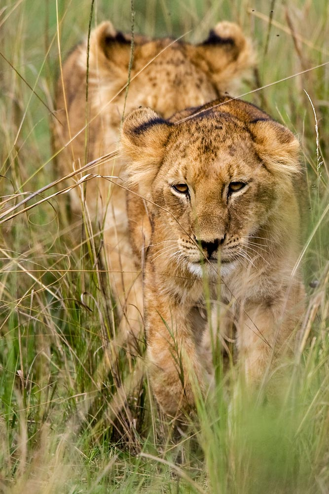 K236 Masai Mara, Junge Löwen / young lions