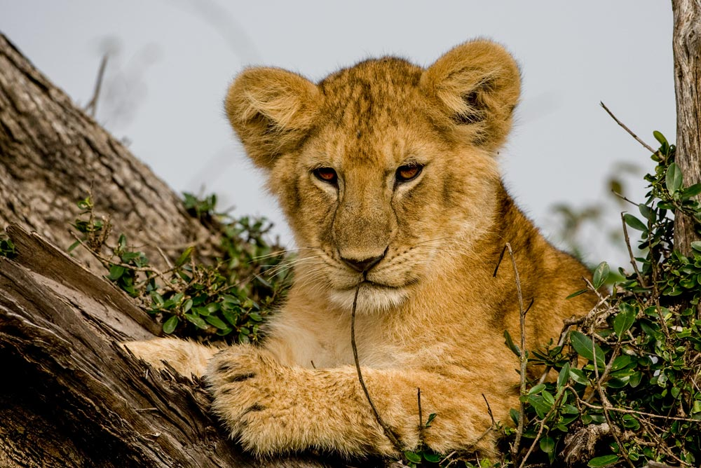 K238 Masai Mara, junger Löwe / young lion