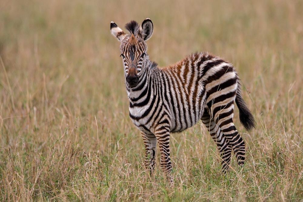 K239 Masai Mara, junges Zebra / young zebra