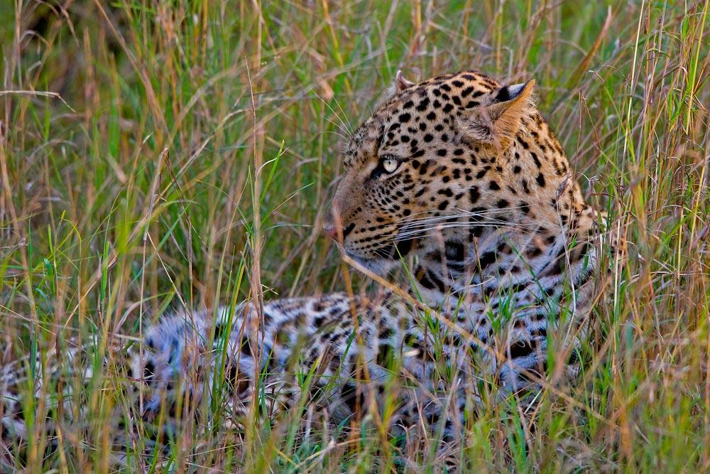 K245 Masai Mara, Leopard / leopard