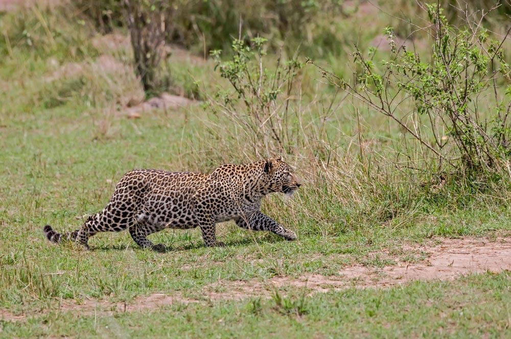 K246 Masai Mara, Leopard / leopard