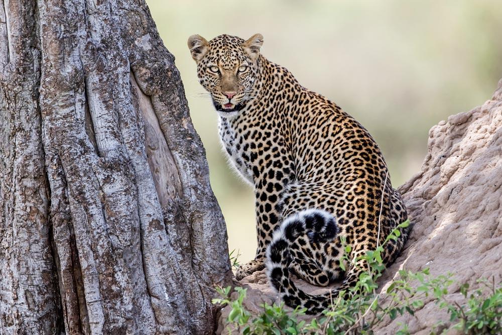 K247 Masai Mara, Leopard / leopard