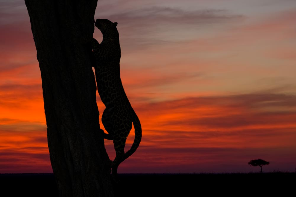 K248 Masai Mara, Leopard / leopard