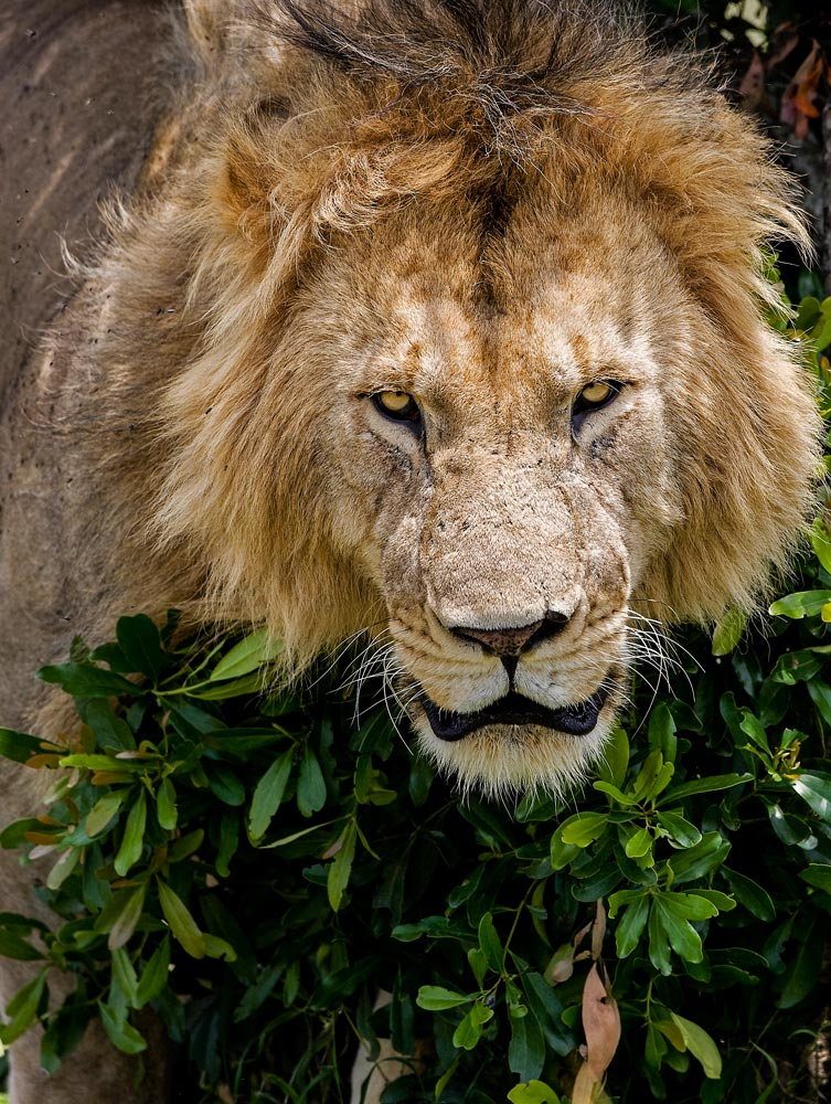 K251 Masai Mara, Löwe / lion