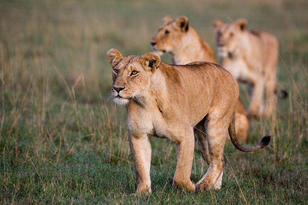 K252 Masai Mara, Löwen / lions