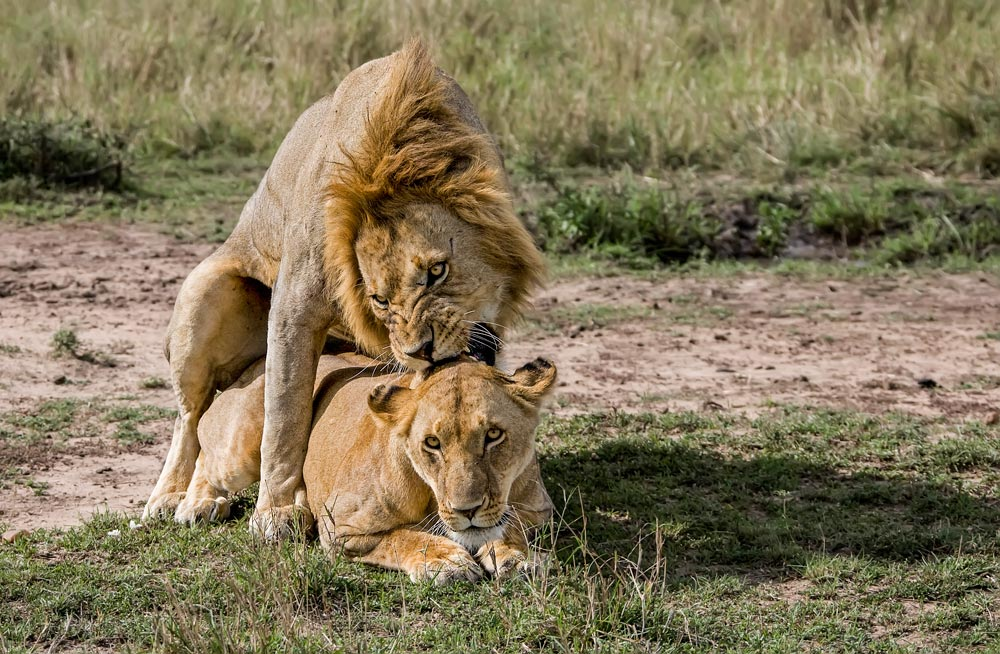 K253 Masai Mara, Löwenpaarung / lions mating