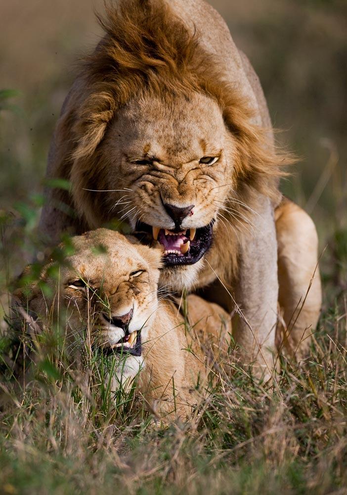 K254 Masai Mara, Löwenpaarung / lions mating