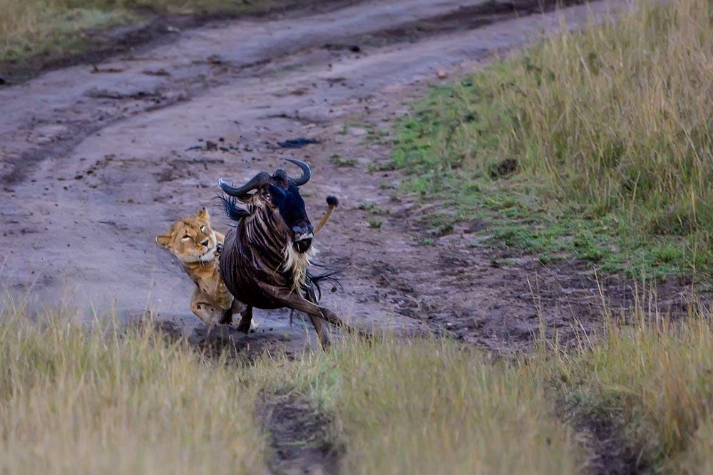 K256 Masai Mara, Löwin jagt Gnu ( erfolglos) / lioness hunts wildebeest (without success)