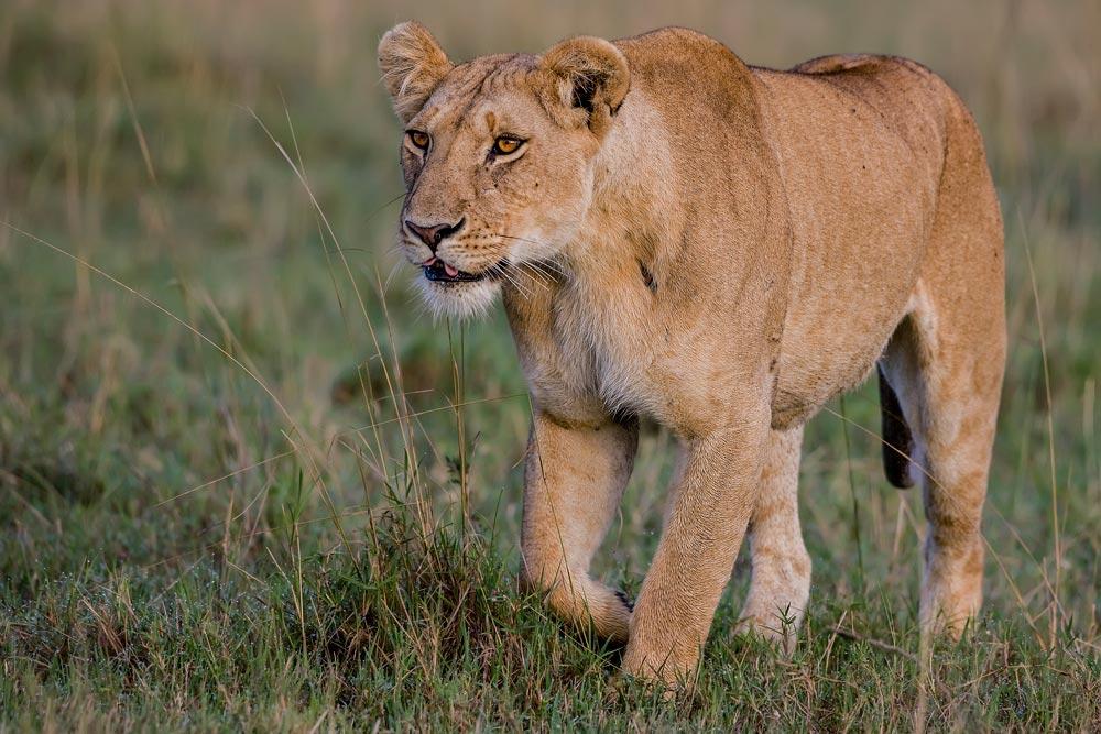 K258 Masai Mara, Löwin / lioness